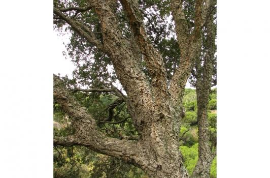 Chêne liège