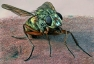 Petite mouche femelle © Philippe Martin